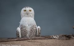 Portrait of a Snowy Owl (Anton Troia) Tags: owl raptor snowyowl snowy