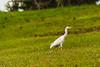AIRONE    ----    HERON (cune1) Tags: natura nature animali animals uccelli birds erba grass foresta forest acqua water africa costadavorio abidjan arealagune