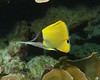 pointedly (BarryFackler) Tags: animal life creature organism being fauna marinelife sealife seacreature zoology biology ecology marinebiology biglongnosebutterflyfish lauwiliwilinukunukuoioi forcipigerlongirostris butterflyfish tropicalfish rarelongnosebutterflyfish flongirostris fish vertebrate marine marineecosystem marineecology nature barryfackler barronfackler bigisland bay bigislanddiving coralreef coral aquatic water westhawaii saltwater hawaii southkona honaunau sea dive kona scuba hawaiiisland sealifecamera hawaiicounty island pacificocean sandwichislands diving honaunaubay hawaiidiving konadiving pacific underwater konacoast hawaiianislands reef polynesia ocean outdoor undersea tropical ecosystem w