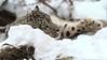 ANAN (babsbaron) Tags: nature tiere animals katzen cats raubkatzen bigcats grosskatzen raubtiere predators schnee leopard snow schneeleopard snowleopard wildpark lüneburg lüneburgerheide