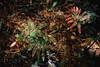 redandgreen filaments (samica jones) Tags: bessa r4 cinestill 800t australian bush blue mountains leura double exposure dappled light