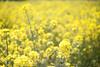 L1018297c (haru__q) Tags: leica m8 leicam8 minolta rokkor rape blossoms 菜の花 黄色 yellow flower 花