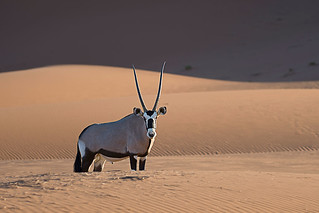 Oryx in The desert of Namib