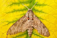 1972-P1110998 Convolvulus Hawk-moth (Agrius convolvuli) (ajmatthehiddenhouse) Tags: stmargaretsatcliffe kent uk 2016 garden moth sphingidae agrius convolvuli agriusconvolvuli convolvulushawkmoth