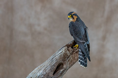 Aplomado Falcon (Joe Branco) Tags: lightroomcc2017 photoshopcc2018 nikond850 nikon wildlifephotography joebrancophotography branco joe birds wildlife canadianraptorconservancy aplomadofalcon green