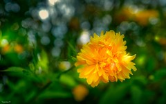 flora 4046 (YᗩSᗰIᘉᗴ HᗴᘉS +12 000 000 thx❀) Tags: 7dwf flora fleur flower yellow bokeh bokehlicious beyondbokeh jaune nature hensyasmine yasminehens