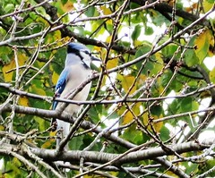 Blue Jay (Chuck Smart) Tags: cyanocittacristata bluejay