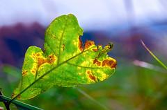 Autumn oak leaf #1 (ErrorByPixel) Tags: autumn oak leaf nature colors green fall season grass smc pentaxd fa macro 100mm f28 wr smcpentaxdfamacro100mmf28wr pentax k5 pentaxk5 errorbypixel handheld 10028 pentaxart