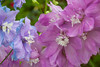 9229Summer15 (Robin Constable Hanson) Tags: blue summer delphinium floral flower flowers horizontal lavender mauve pink purple spring