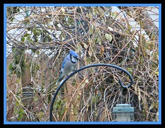 Bluejay In My Garden (bigbrowneyez) Tags: bluejay feathers beautiful wings nature natura dof garden pretty branches trees shrubs feeder fence flickrwood wisteria fabulous rodiron adorable sweet dolce uccello uccellino bello bellissimo mygarden miogiardino lovely dec blue frame cornice