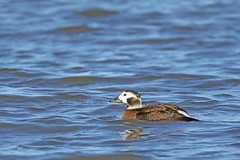 Harelde kakawi (F) / Long-tailed Duck (F) (alainmaire71) Tags: bird anatidae clangulahyemalis hareldekakawi longtailedduck nature quebec canada