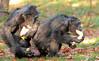 chimpanzee Burgerszoo BB2A6441 (j.a.kok) Tags: chimpanzee chimpansee aap ape monkey burgerszoo animal africa mammal mensaap primaat primate zoogdier dier