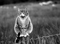 Pole position (Zèè) Tags: chat cat cats katze kot kitty katzen katt kat kwiat feline funny gato gatto france pole yawn yawning tabby tigre sparkey countryside country drole black blanc bw blackandwhite white noir noirblanc nature monochrome