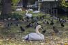 Animals. (ost_jean) Tags: swan zwaan eenden ducks canard nikon d5200 autumn herfst tamron sp 90mm f28 di vc usd macro 11 f004n ostjean
