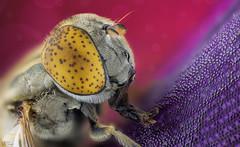Drone Fly (Can Tunçer) Tags: can cantunçer cantuncer canon canon6d closer macro makro macros macrophotography micro mikro makros microscope microscop mitutoyo mitu5x mm tunçer turkey turkiye türkiye tuncer stack stacking studio setup stand izmir ikea jansö jansjö
