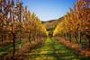 Golden Vines (Kevin_Jeffries) Tags: nikkor d800 kevinjeffries plants flora vines landscape hills vineyard wine winemaking nikon gold golden light spring