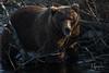 Here's Looking at You, Kid (wyrickodiak_9) Tags: kodiak alaska brown bear grizzly sow cubs fishing river island mammal wildlife apex predator