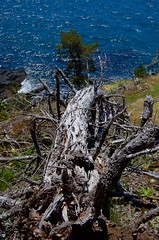 Bleached skeleton of pine tree on bluff above the sea (daniellacy562) Tags: bluegreen bluff branches bright coastal eastsookepark juandefucastraits landscape nature ocean outdoors outside pacificnorthwest pinetree sea shore skeleton slope snag sparkling spring sunbleached sunshine trees vancouverisland waves windy