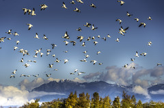 Snow geese coming 雪雁來了 (T.ye) Tags: snow geese goose bird landscape mountain clouds trees forest sky tree