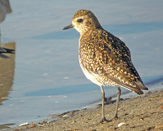 Pacific Golden-Plover, Pluvialis fulva (bruce_aird) Tags: