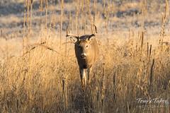 White-tailed Deer buck walking head on