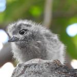 White tern fledgling on bare limb thumbnail