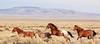 Sprint (chad.hanson) Tags: mustangs wildhorses wildlife wyoming stewartcreekhma