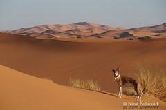 In the Desert You Can't Remember Your Name (farahleon) Tags: sahara leon galgo ergchebbi merzouga maroc morocco