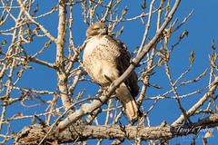 Puffed up Red-tailed Hawk