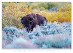 Mr. Colorful (Luuk Belgers) Tags: grandtetons heather bison animal naturephotography unitedstates grandtetonnationalpark fall colors