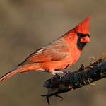 Cardinal, Northern thumbnail