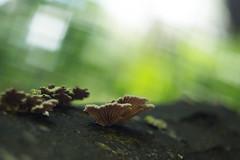 Little Fungi ((arteliz)) Tags: dandenongs flora plants bokeh arteliz artelizphotography photography macro macrophotography fungi mushroom australia australianplants australian