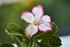 Desert Rose (ronmcmanus1) Tags: antigua caribbean flowersplants nature outdoors jollyharbour stmarysparish antiguabarbuda