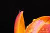 Macro Mondays - Stone Rhyming Zone - Alone (Magda Banach) Tags: stonerhymingzone alone colors drop drops flora flower macro macromonday macromondays monday orange plants water 80d