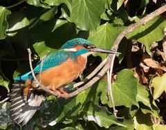 Kingfisher (Mukumbura) Tags: kingfisher bird fish fishing catch water splash flying wildlife england alcedoatthis bishopspalace moat wells somerset nature
