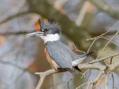 Get away from my pond !!! (tresed47) Tags: 2017 201711nov 20171114bombayhookbirds birds bombayhook canon7d content delaware fall folder kingfisher november peterscamera petersphotos places season takenby us
