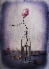 Welsh Winter Rose (shawn~white) Tags: 100mm canon6d rose shawnwhite aged antiquity beauty bottle distressed enchanting flash flower layers leaf leaves nostalgia reminisce reminiscing retro studio studiolight texture vase vintage weathered
