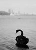 Test Roll - Matilda Bay Black Swan (Khem A.) Tags: hasselbladh1 hasselblad h1 fujifilm gx645af mediumformat 100mm f22 10022 perth wa blackswan ilford ilfordxp2 xr2super