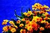 flores amarillas en mi calle... (jacoboborizonroitburd) Tags: elecciones
