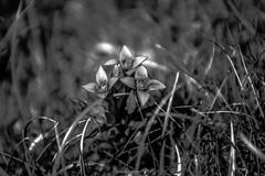 Fleurs de Métal (Frédéric Fossard) Tags: flou bokeh profondeurdechamp nature flower végétal flore floral fleursauvage florealpine fleurdesmontagnes monochrome noiretblanc blackandwhite lumière chrome argent métal gentiane alpage herbe oisans hautesalpes massifdesécrins texture botanique blackwhitepassionaward