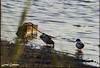 IMG_4548_Wild Ducks (Ajax_pt/Zecaetano) Tags: patos ducks lagoa pond