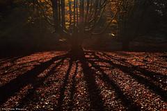 Lights & Shadows (Hector Prada) Tags: bosque árbol sol luz sombras contraluz ramas hojas otoño naturaleza forest tree sun light shadows backlighting branch leaves autumn nature paísvasco basquecountry