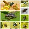 Friday Flies! (suekelly52) Tags: fly flies greenbottle