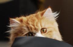 Cute & Hidden Kitten (tanjuanlaş) Tags: animal domestic chinchilla wide 50mm d80 nikon oldies kitten cat
