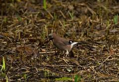 _DSC1997 (AngelPixCn) Tags: angepixcn birds farm feeding green heron jay nikond7100 pond wings yellow cardiff wales unitedkingdom gb