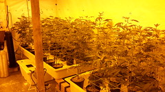 20150406_082034 (CannaPsy) Tags: hydroponics flood drain indoor medical cannabis marijuana weed horticulture high pressure sodium hps og