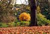 ...have I already said that autumn is my favorite season? :) (LaDani74) Tags: tree autumn fall leaf foliage garden tuscany toscana firenze canoneos760d sigma1750 autunno bobolino