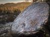 an icy stump (grahamrobb888) Tags: nikon nikond800 nikkor nikkor20mmf18 perthshire scotland birnamwood ice tree stump treefelling forestry