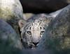 The Stalker [In Explore 11/28/17] (greekgal.esm) Tags: snowleopard pantherauncia leopard cat feline animal mammal carnivore cub babyanimal marai losangeleszoo lazoo losangeles griffithpark sony a77m2 a77ii