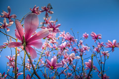 Magnolia (Jeannette Maandag) Tags: magnolia roze blauw colors spring lente tree sky lucht contrast happy pretty